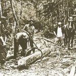 Bucking up with a chain saw.  Long lengths of timber are skidded in by horse (or tractor) and sawed into four foot lengths for piling.