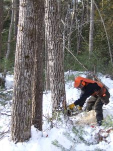 University Forests staff, Francis Avery, using directional felling techniques during gap harvesting (photo. Rick Morrill)