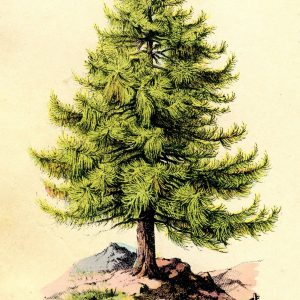 Photo of Eastern White Pine in Color