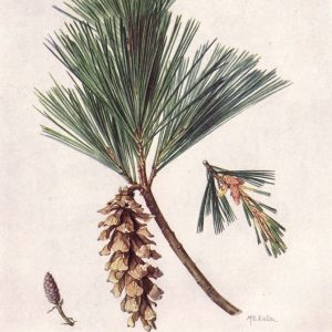 Photo of White Pine in Color