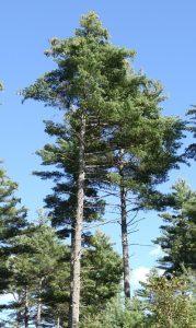white pine photo