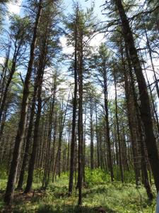white pine pic
