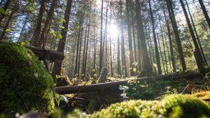 umaine forest